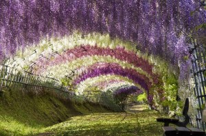 3.Wisteria-Flower-Tunnel-in-Japan-20-Magical-Tree-Tunnels-You-Should-Definitely-Take-A-Walk-Through