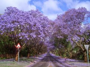 5.-Jacarandas-Walk-in-South-Africa-20-Magical-Tree-Tunnels-You-Should-Definitely-Take-A-Walk-Through